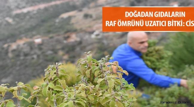 Türk bilim insanları gıdaların raf ömrünü uzatan yeni bir bitki keşfetti