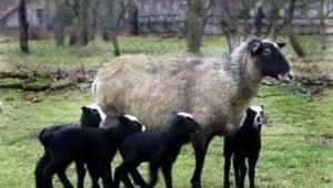Ukrayna'dan getirilen Romanov Irkı 50 koyunundan 200 kuzu dünyaya geldi