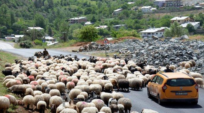 Karadeniz'de göçerler yayla yollarında