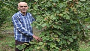 Fındık üreticisi hasat için bahçelere giriyor