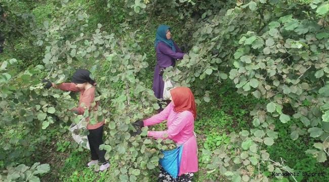 Kadın fındık işçilerinin zorlu mesaisi