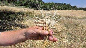 Kastamonu'da siyez hasadı sona erdi