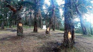 Tokat'ta çam ağaçlarına zarar verilmesi