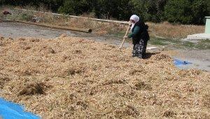 Çamoluk şeker kuru fasulyesinde hasat zamanı