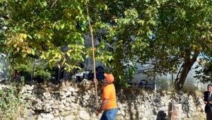 Sadece Gümüşhane'de son bir haftada 5 kişi ceviz ağacından düşerek ağır yaralandı
