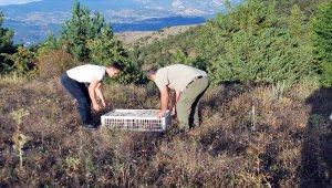 Tokat'ta doğaya sülün salındı