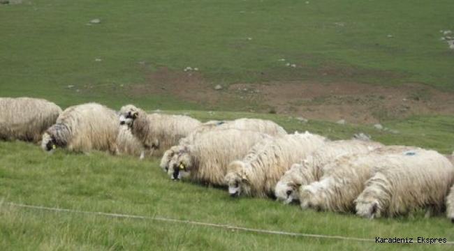 300 koyun projesi devam edecek mi? TİGEM Genel Müdüründen önemli açıklama