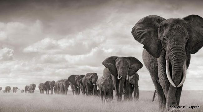 Filler, ölüme yas tutan ender hayvanlardan biri