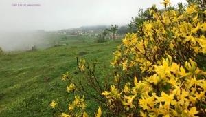 Yaylalarda ormangülü mevsimi