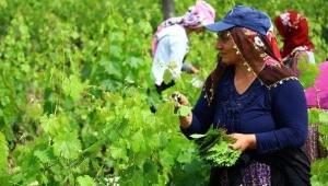 'Erbaa narince bağ yaprağı' başta Avrupa olmak üzere birçok ülkeye ihraç ediliyor