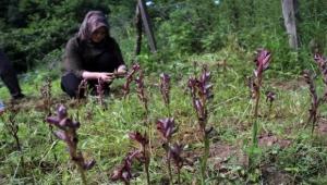 Giresun'da ilk defa üretilen bitkinin kilosu 1400 lira! Fındığa alternatif