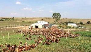 Faizsiz Tavuk Çiftliği Kredisi Hibe Şartları