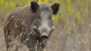 Yunanistan'da yaban domuzu avı yıl boyunca serbest oluyor