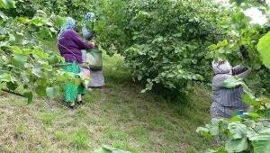 Karadenizde fındık üreticisi: Devletin tarım politikası yok, çözüm kooperatifleşmek