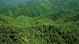 Karadeniz ormanlarına 40 bin faydalı böcek bırakıldı