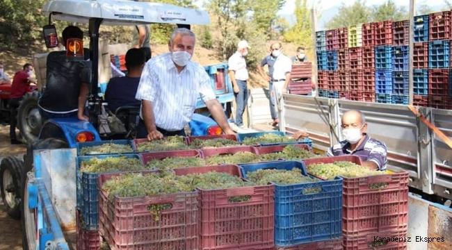 Niksar GÖKÇELİ Kasabasında üzüm hasadı başladı