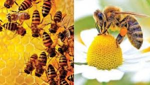 Tüm dünyayı korkutan gelişme: Arılara neler oluyor?