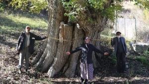 Dünyanın En Yaşlı Armut Ağacı Artvin'de Bulunmuş Olabilir