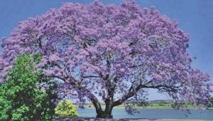 Dünyayı kurtarabilecek ağaç : KİRİ AĞACI