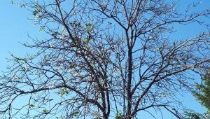Gölköy 'de Armut Ağacı Ve Erik Çiçek Açtı