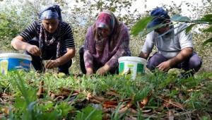 Ormanlarda yetişen kestaneler köylüye gelir kapısı oldu! 20 bin TL gelir getirisi var