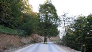 Yol ortasındaki asırlık gürgen, kesilmekten kurtarıldı