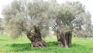 Gümüş yapraklı ölmez ağaç: Zeytin