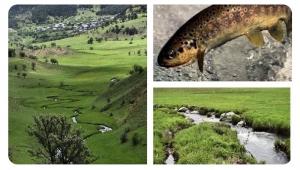 Mesudiye derelerinde yaşayan Kırmızı Benekli Dağ Alası'nın nüfusu susuzluk ve bilinçsiz avcılar nedeniyle tehlike altında...