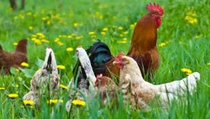 Serbest gezen tavuklar halinden memnun mu? Kapalı yerleri mi tercih ediyorlar?