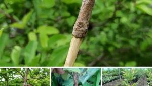 Bitki Çoğaltma Yöntemi: Havai Daldırma...