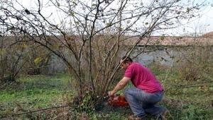 Giresun'da Fındık Bahçeleri Erken Uyandı!