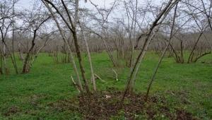 Ordu'da örnek fındık bahçeleri ile verim 4 kat arttı