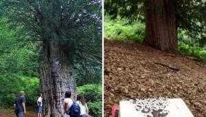 Zonguldak'ta bulunan Türkiye'nin en yaşlı porsuk ağacı koruma altında