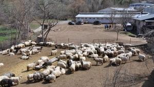 Koyunlar sahiplerine teslim edilmeye başlandı