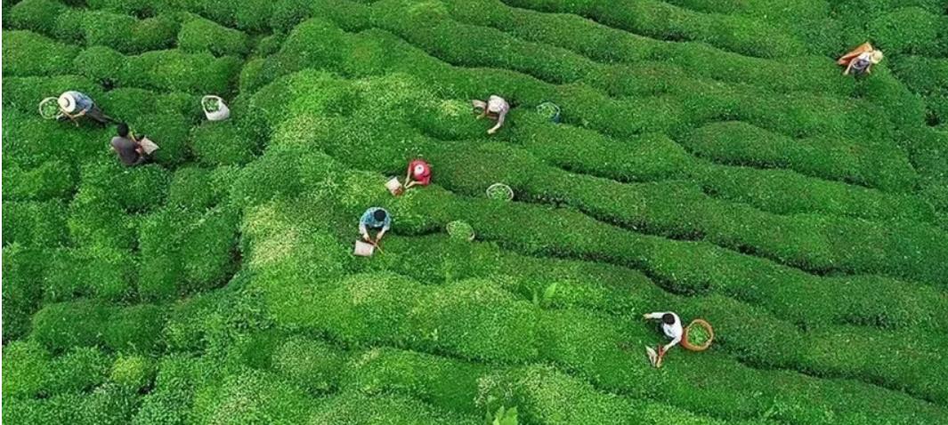 Rize'de yeni yaş çay sezonu için hazırlıklar başladı
