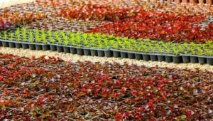 Safranbolu Belediyesi Kendi Çiçeğini Üretiyor