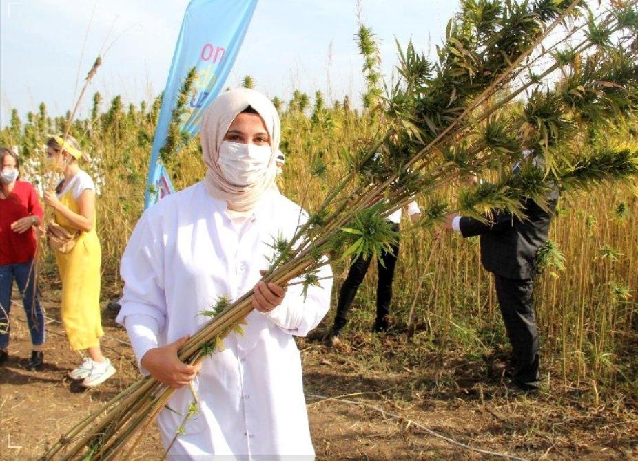 Türkiye'nin ilk tescilli yerli ve milli kenevir tohumu: Narlı ve Vezir