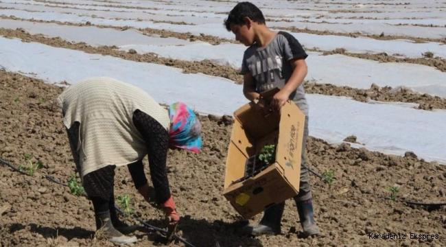Bafra Ovası'nda çiftçiler ilk fideleri toprakla buluşturuyor!