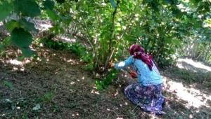 Fındık bahçelerinde ilaçlama ve temizlik zamanı