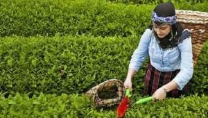 Giresun 'da çay hasadı başladı