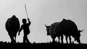 Hayvancılık hibesi alacaklar dikkat! Desteğin detayları Resmi Gazete'de yayımlandı