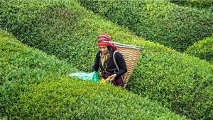 ÇAYKUR yaş çay bedeli ödemelerine başladı