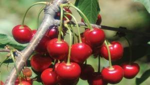 Türkiye'de Anadolu vişne çeşidi yetiştirilmektedir