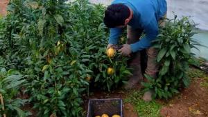 Pepino, Fatsa Ziraat Odası Çiftçi Eğitim ve Üretim Merkezimizde yetiştirildi...