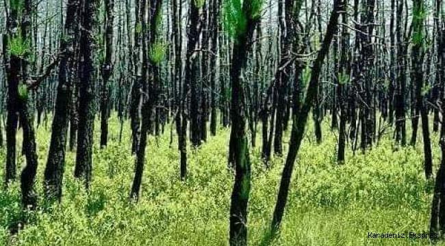 Yanan alanlara kafamıza göre ağaç dikemeyiz...