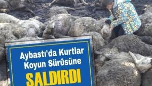 #Aybastı'da köye inen kurtlar, 13 koyunu parçaladı