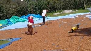 Üreticiler, fındığı kurutma telaşına düştü.