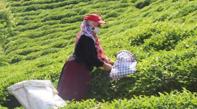 ÇAYKUR yaş çay alımında rekor kırdı