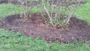 Fındık bahçelerinde Mayıs böceği...