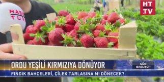 Habertürk TV - Ordu'nun fındık bahçeleri, çilek tarlasına mı dönecek?